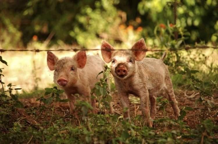 Почему иудаизм запрещает свинину?